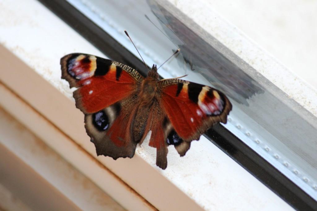 Papillon qui essaie de retrouver la sortie !