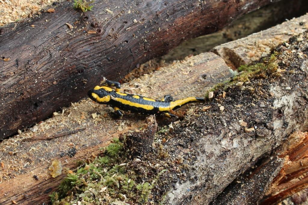 Jolie Salamandre se promenant sur une bûche de bois.