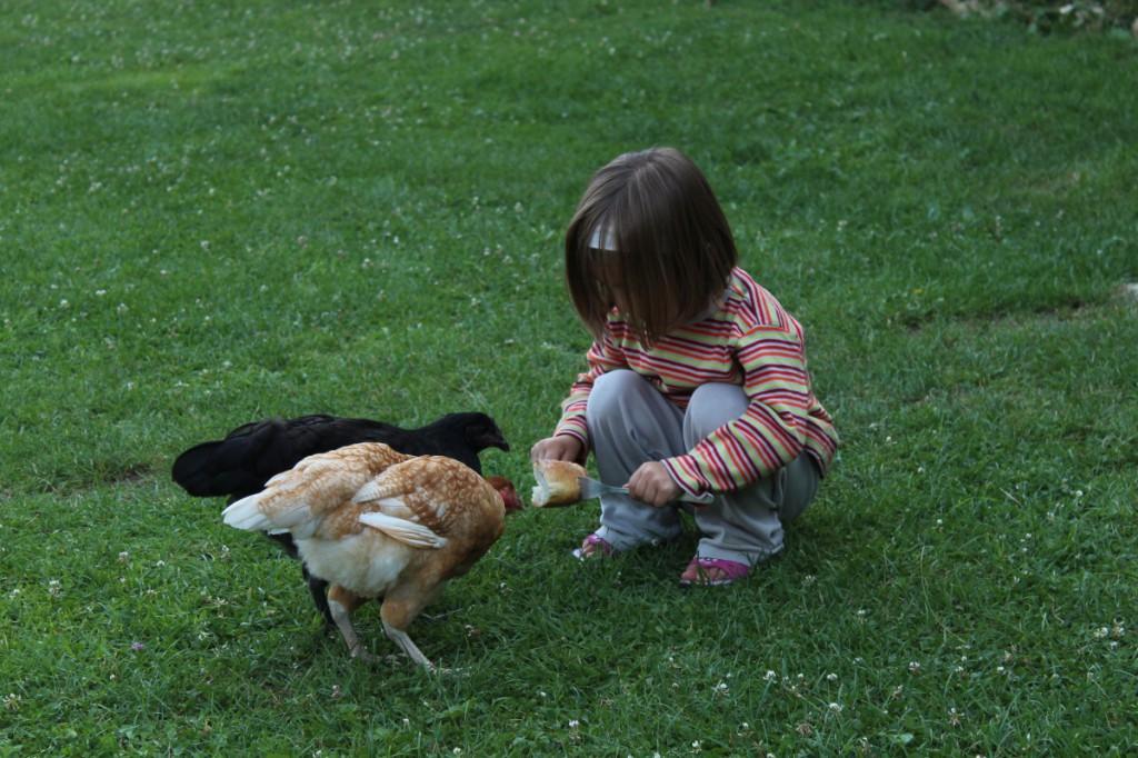 Un croûton tout dur piqué sur 2 fourchettes, et une fillette heureuse de nourrir ses poules !